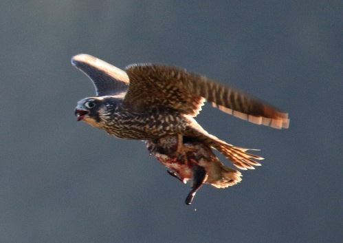 peregrine-falcon-with-green-winged-teal