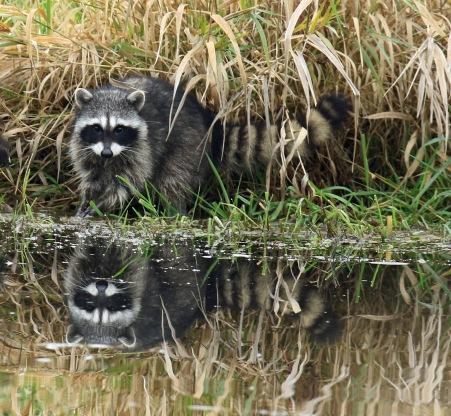 raccoon1