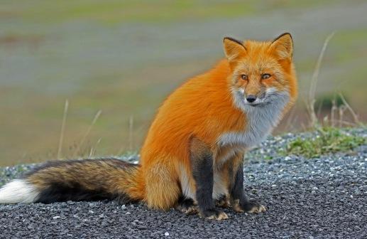 red-fox4