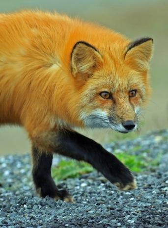 red-fox5