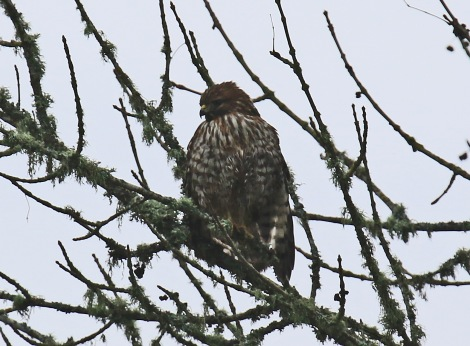 red-shouldered-hawk