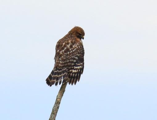 red-shouldered-hawk8