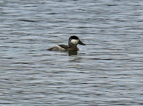 ruddy-duck1