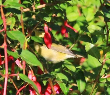 tennessee-warbler2