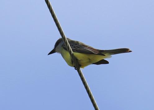 tropical-kingbird-on-wire