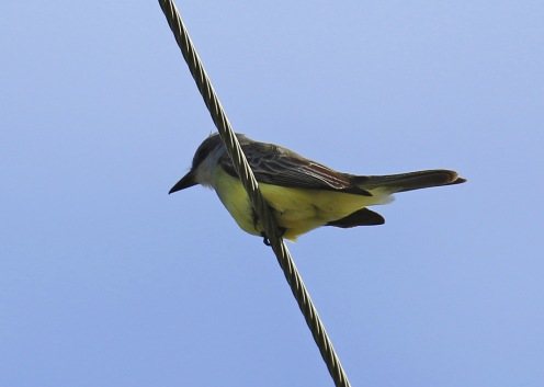 tropical-kingbird-on-wire