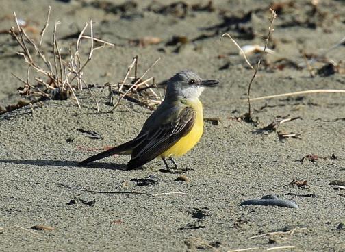 tropical-kingbird1