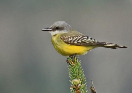 tropical-kingbird2