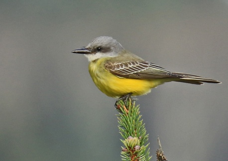 tropical-kingbird2