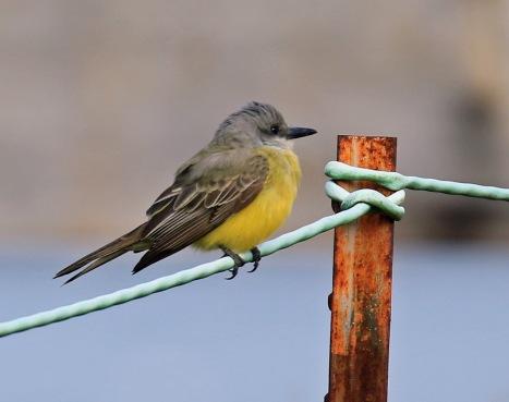 tropical-kingbird
