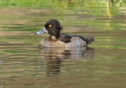 tufted-duck-female4