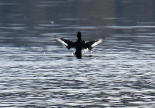tufted-duck