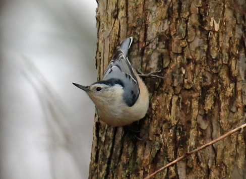 white-breastede-nuthatch