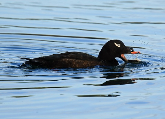 white-winged-scoter-1