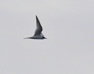 arctic-tern2