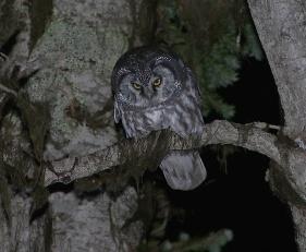 boreal-owl1