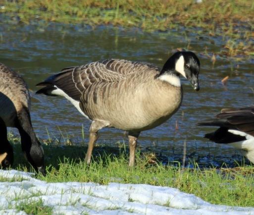 cackling-goose-aleutian