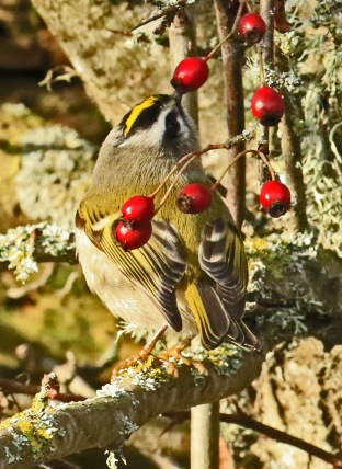 golden-crowned-kinglet1