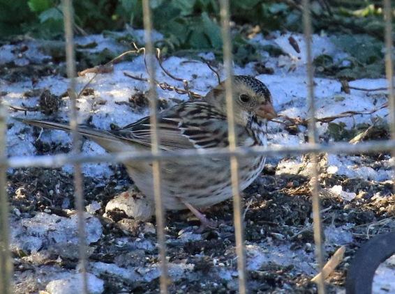 harriss-sparrow4