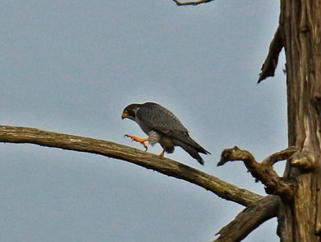 peregrine-falcon2