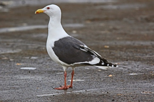 slaty-backed-gull1