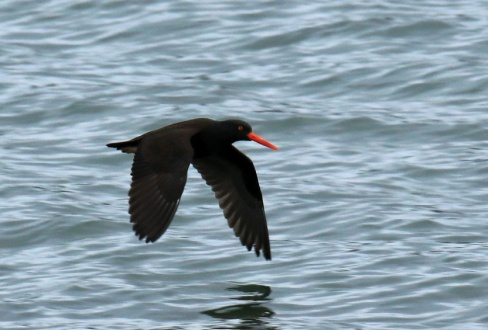 black-oystercatcher1