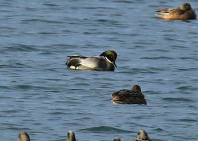 falcated-duck2