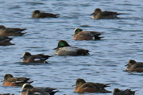 falcated-duck7