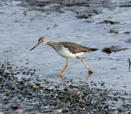 greater-yellowlegs1