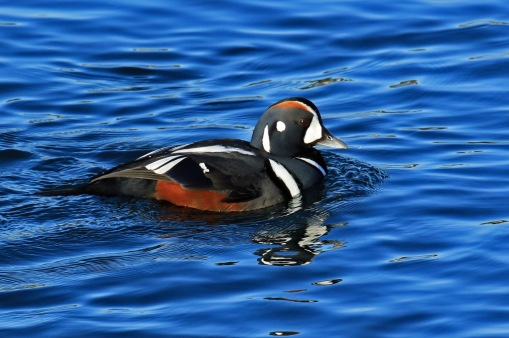 harlequin-duck