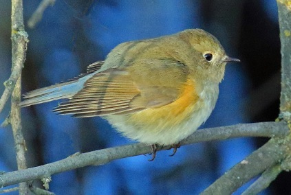 red-flanked-bluetail1r