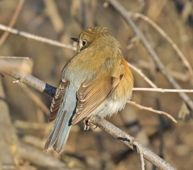 red-flanked-bluetail6