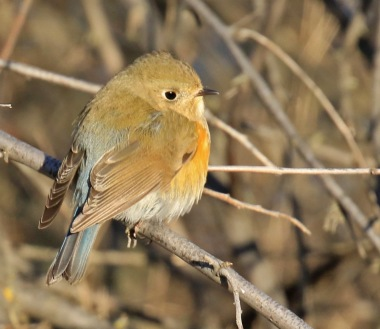 red-flanked-bluetail7