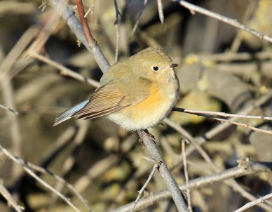 red-flanked-bluetail8r