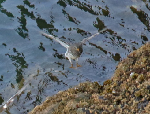 rock-sandpiper-flight