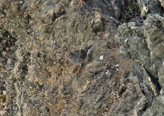 rock-sandpiper