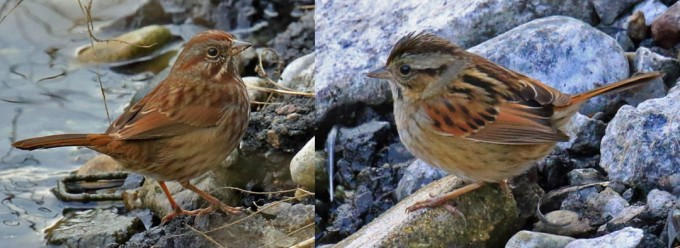 song-sparrow-vs-swamp-sparrow