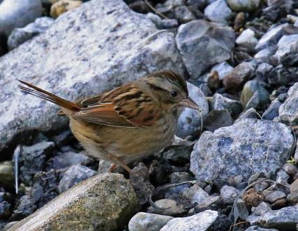swamp-sparrow1