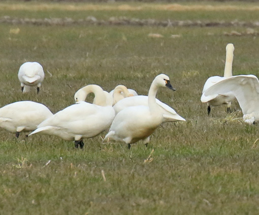 tundra-swan