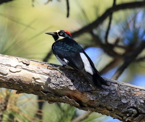 acorn-woodpecker