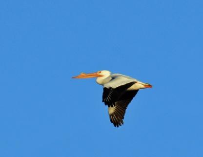 american-white-pelican