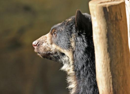 andean-bear