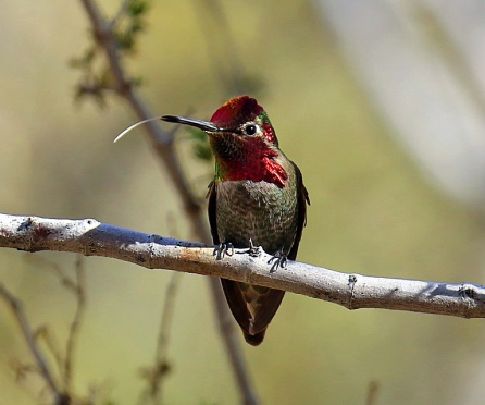 annas-hummingbird-tongue-out-copy