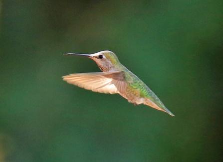 annas-hummingbird1