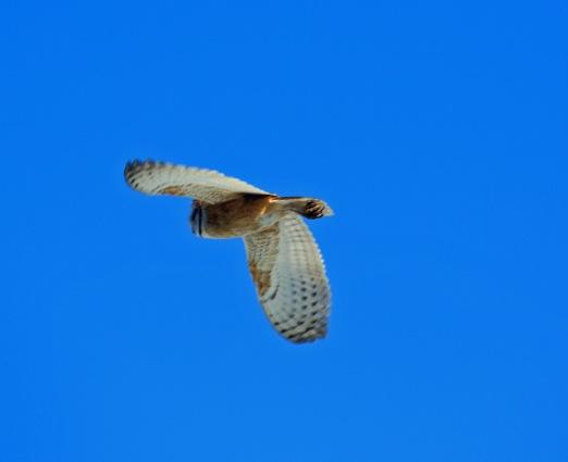 Barn Owl Flight.jpg