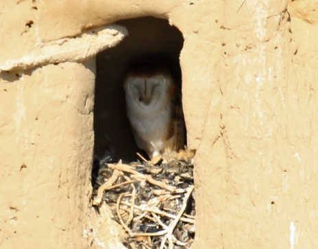 barn-owl-on-nest
