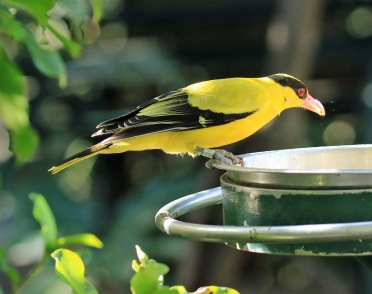 black-naped-oriole