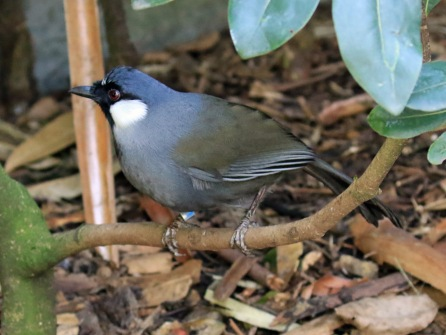 black-throated-laughingthrush1