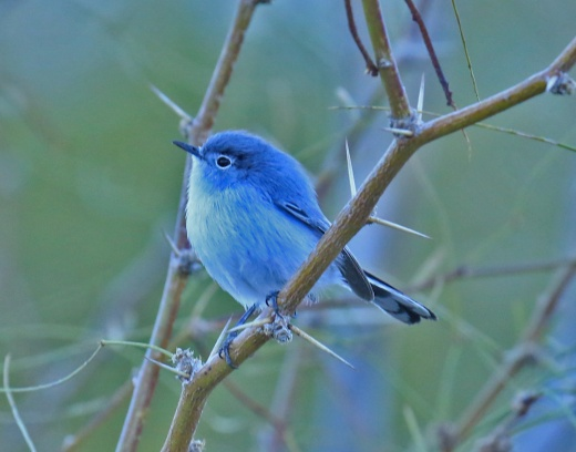 blue-gray-gnatcatcher1