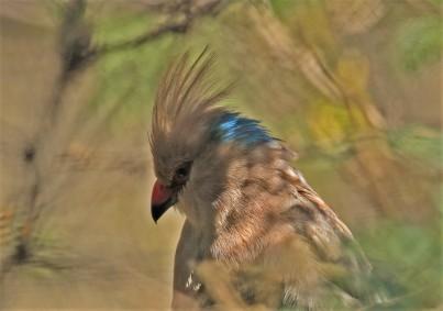 blue-naped-mousebird1